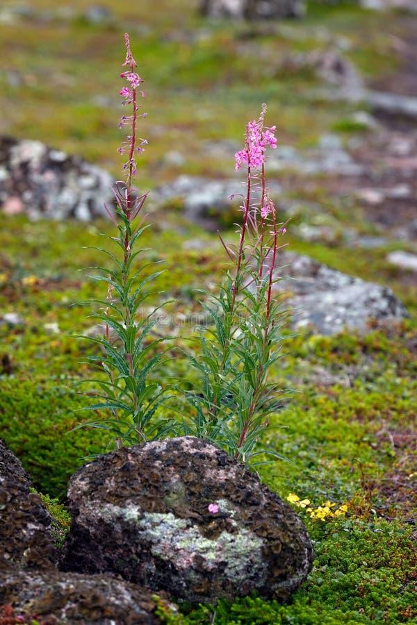 Roślinność tundra obrazy royalty free