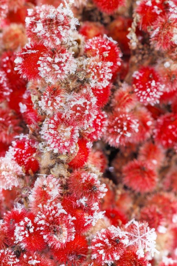 roślinności czerwona zima zdjęcia royalty free