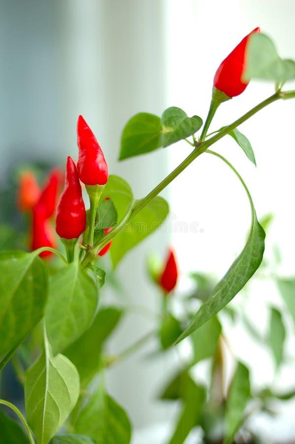 rośliny capsicum Cayenne zdjęcia royalty free