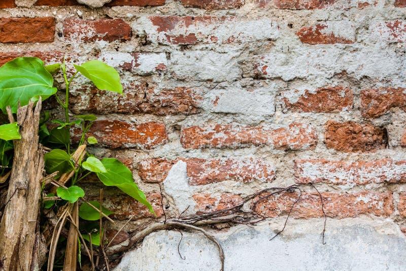 rośliny ceglana stara ściana zdjęcie stock