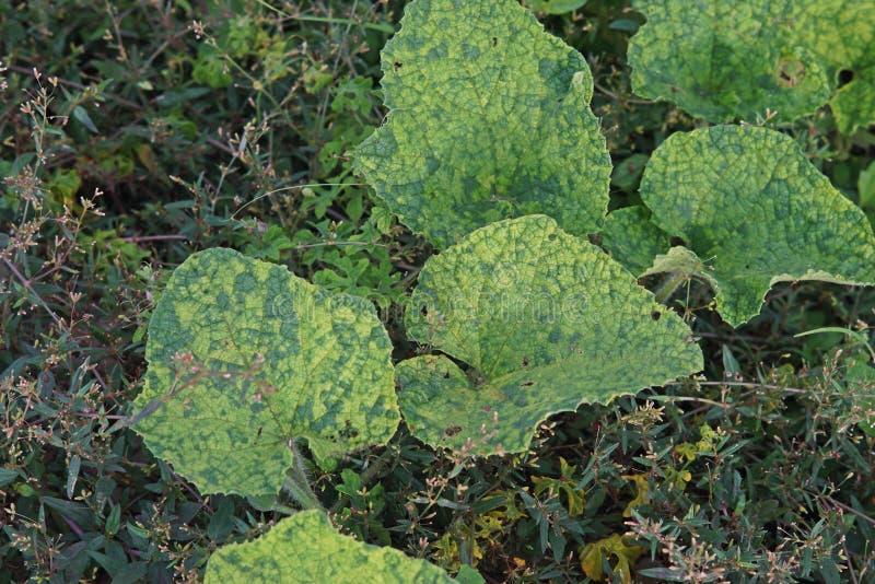Rośliny choroba, wirusowa choroba na ogórkowej rodzinie zdjęcie stock