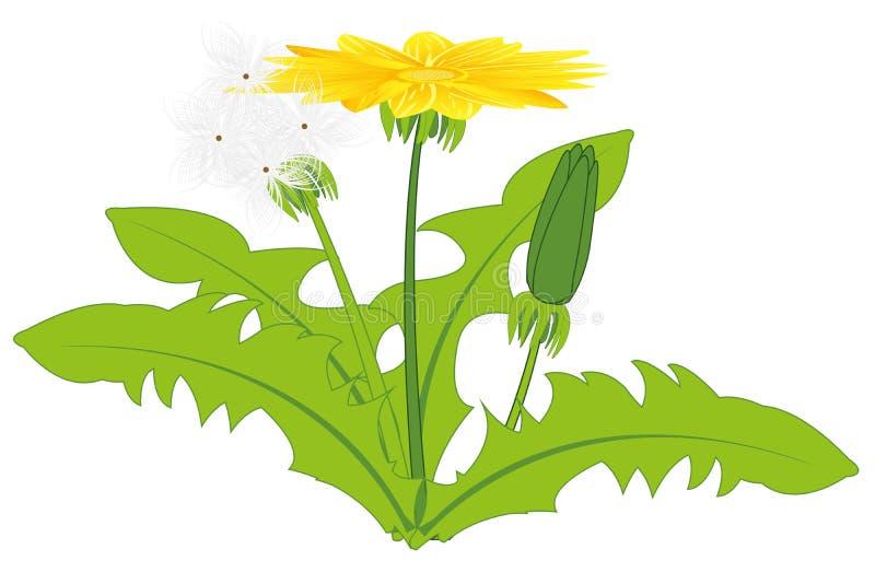 Rośliny dandelion na białym tle izoluje ilustracja wektor