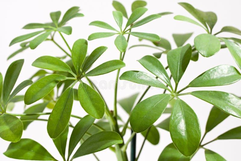 rośliny domowy schefflera obrazy royalty free