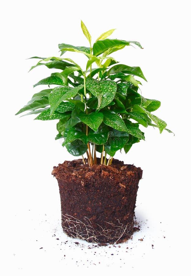 rośliny doniczkowy korzeni pokazywać obraz stock