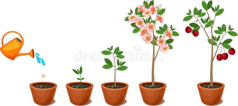 Rośliny dorośnięcie od ziarna czereśniowy drzewo ilustracji