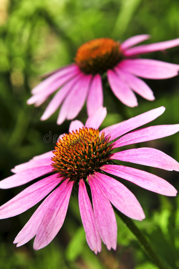 rośliny echinacea purpurea zdjęcia royalty free