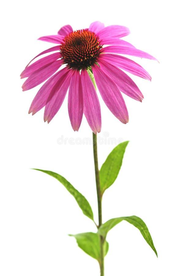 rośliny echinacea purpurea zdjęcie stock