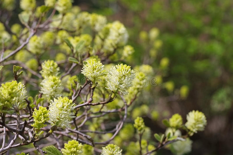 Rośliny Fothergilla gardenii Murray obrazy royalty free