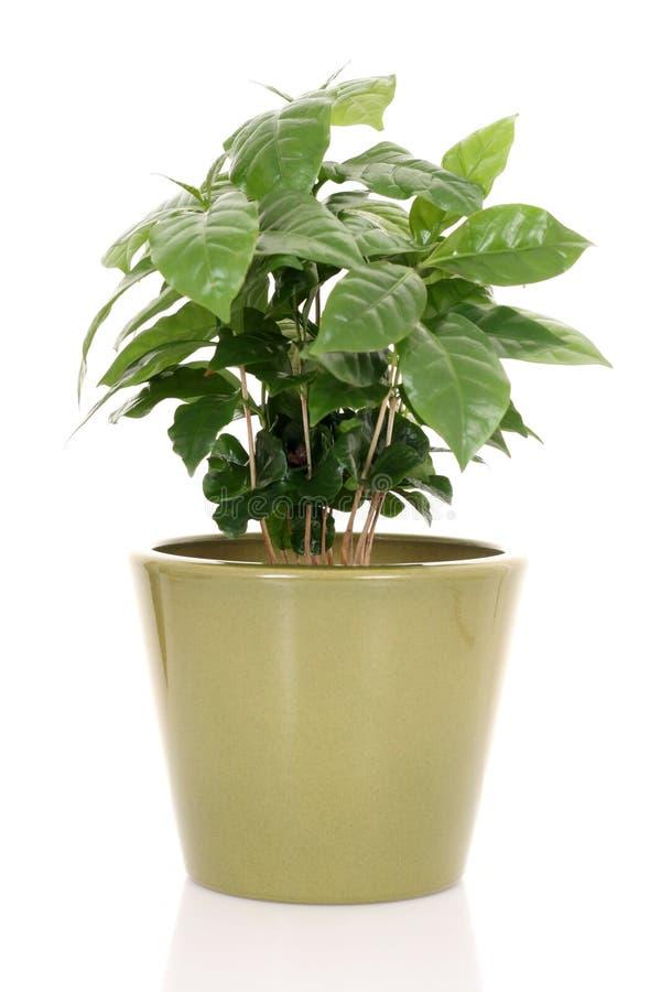 rośliny kawowa obraz stock