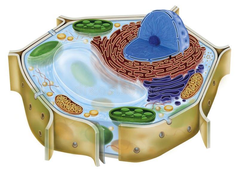 Rośliny komórka ilustracja wektor
