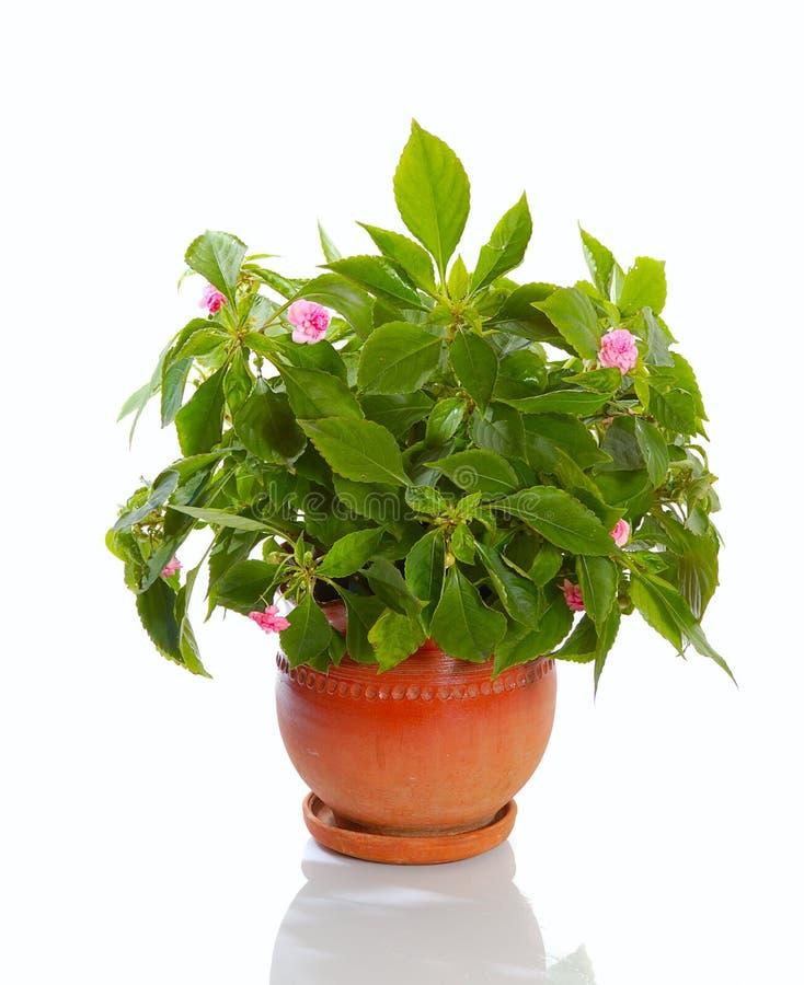 rośliny kwitnąca obraz stock