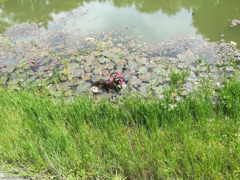 Rośliny na zieleni nawadniali jezioro obraz royalty free