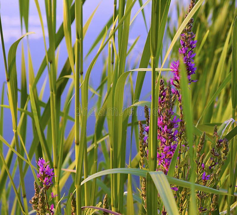 Rośliny rezerwaty wodni - Chai fotografia stock