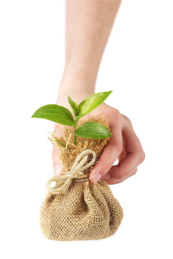 rośliny się młoda obraz royalty free