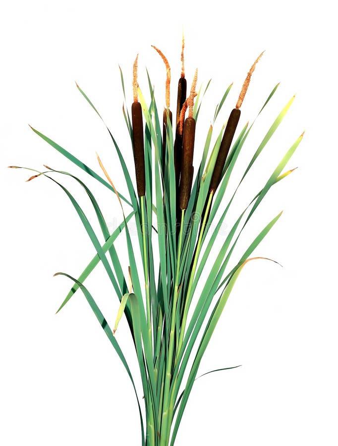 Rośliny trzcina odizolowywająca fotografia royalty free
