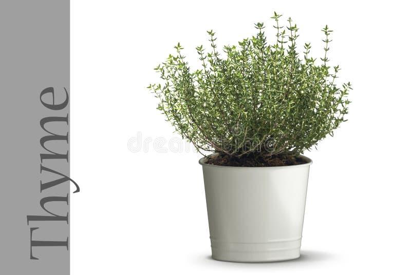 rośliny tymianku zdjęcia royalty free