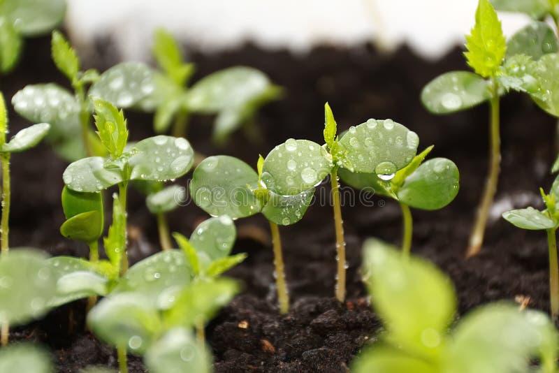 Rośliny w pepiniery tacy obraz stock