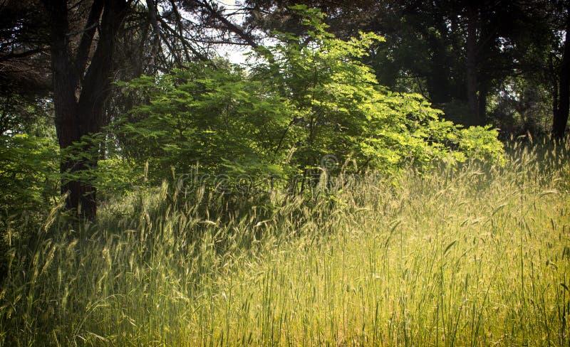 Rośliny w pinewood lasowym pobliskim Marina Romea zdjęcia stock