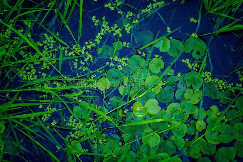 Rośliny wodne na powierzchni rzeka zdjęcie stock