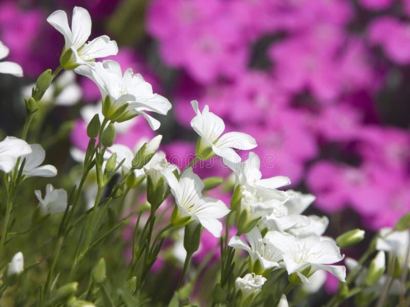 rośliny wysokogórska zdjęcia stock