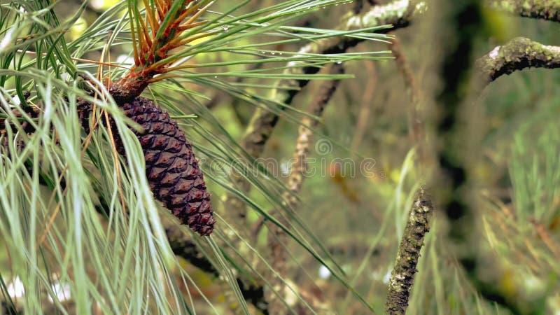 rożek gałęziasta świerczyna Kolaż robić jodła rozgałęzia się z rożkami Pinecones rożki obrazy royalty free