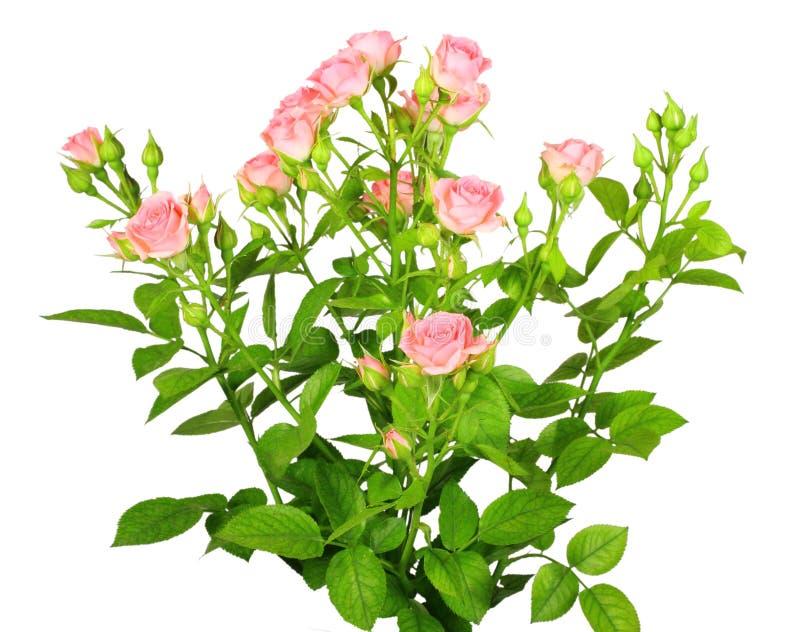 ro för gröna leafes för bukett rosa royaltyfri foto