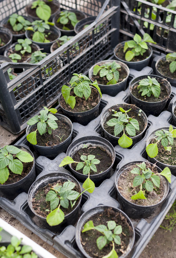 Download Rośliien rozsady zdjęcie stock. Obraz złożonej z kwiaty - 53782958