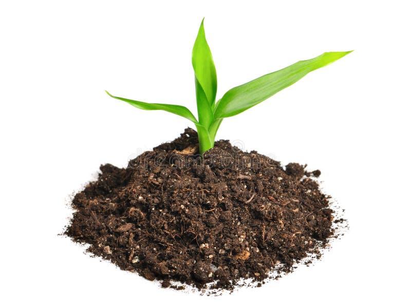 Download Roślina zdjęcie stock. Obraz złożonej z przyrost, flory - 13332116