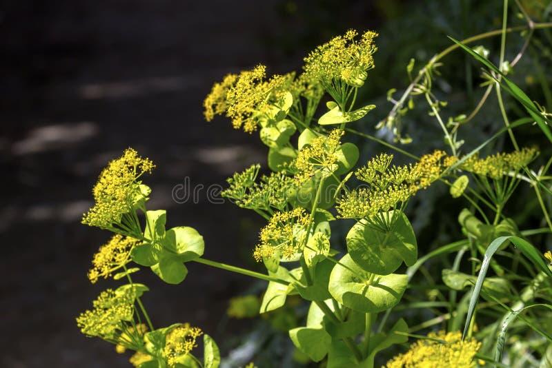 Ro?liny Smyrnium rotundifolium Miller r w g?r? lasu w fotografia stock