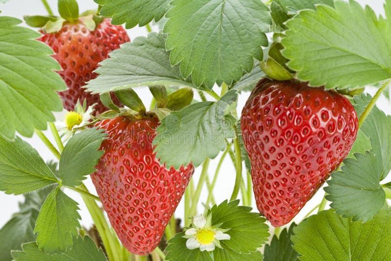 Download Rośliny truskawka obraz stock. Obraz złożonej z jadalny - 14250047