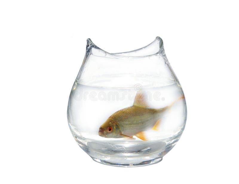 Download Roach in aquarium stock image. Image of large, aquarium - 11005617