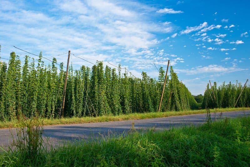Road along hop field in Zatec hops area. stock photo