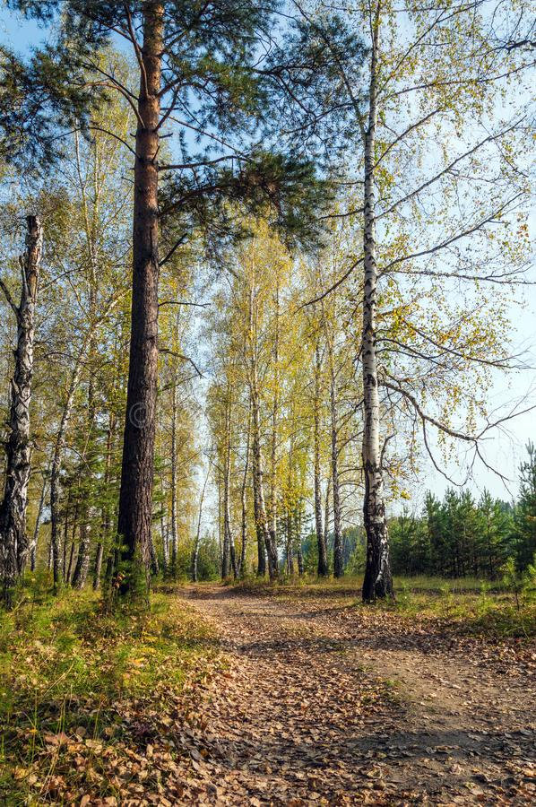 The road in the autumn forest. Clear Sunny day, fallen dry leaves. Vertical shot. Siberia, Russia royalty free stock photo