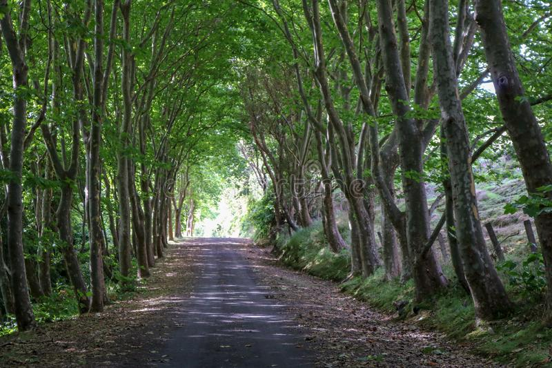Tree tunnel. Road covered by lush green trees royalty free stock photos
