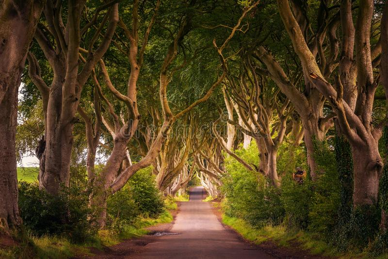 The Dark Hedges in Northern Ireland at sunset. Road through the Dark Hedges tree tunnel at sunset in Ballymoney, Northern Ireland, United Kingdom stock photo