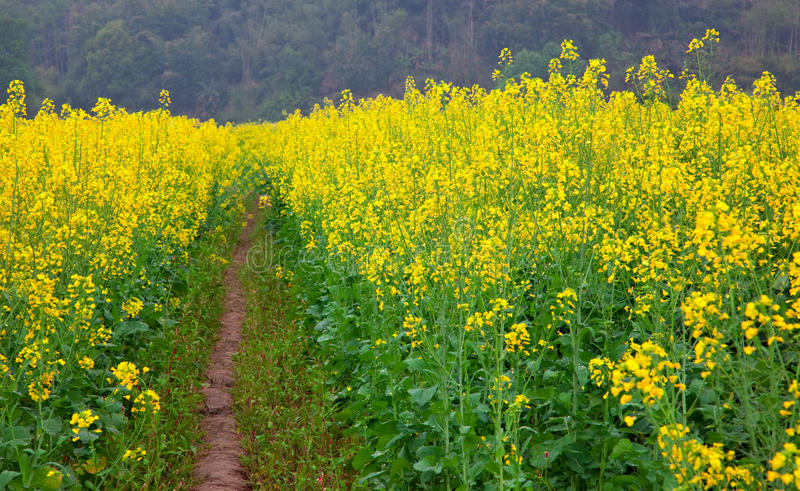 Download Road Through Field Of Oilseed Stock Image - Image: 13447561