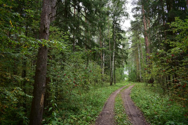 Road in the forest in summer is intended for export with annual allowable cut of wood wood whips the trees, the assortment to stock image