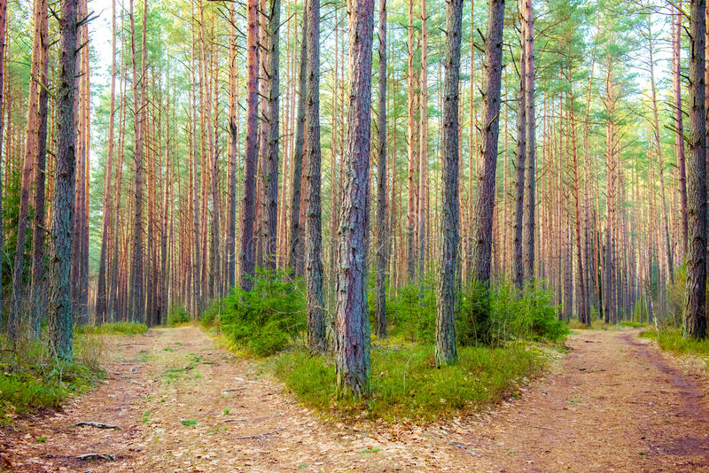 Road fork. Pine trees forest and road fork royalty free stock photos