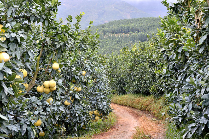 Road in garden of grapefruit stock photo