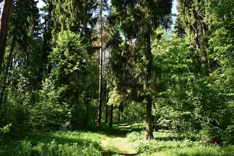 The road leading away to the towering giant pines in the background royalty free stock photo