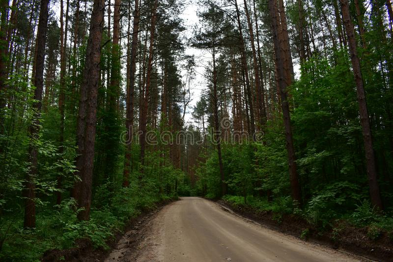 The road leads through a slender pine forest serene day ripened to straw ripeness of summer royalty free stock photos