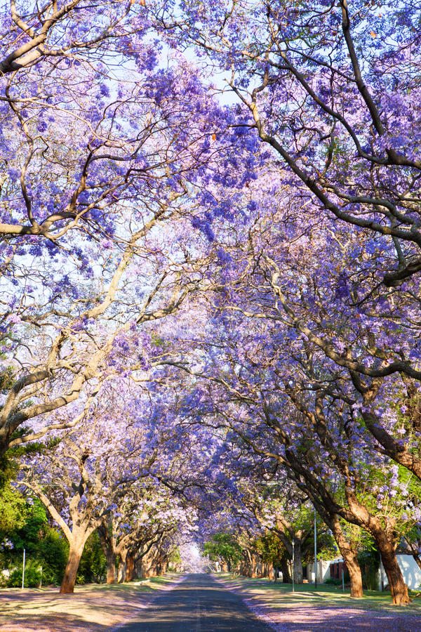 Road lined with beautiful purple jacaranda trees in bloom stock image