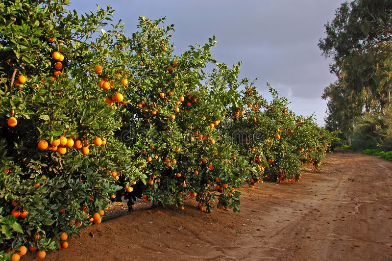 Road with many orange trees stock image