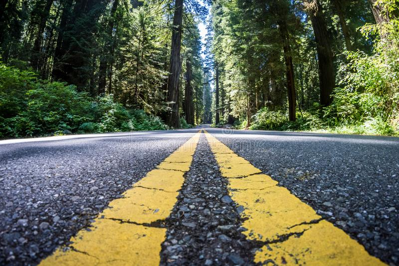The road through Newton B Drury scenic parkway in Redwood State and National Park is lined with giant Redwood Trees royalty free stock photo