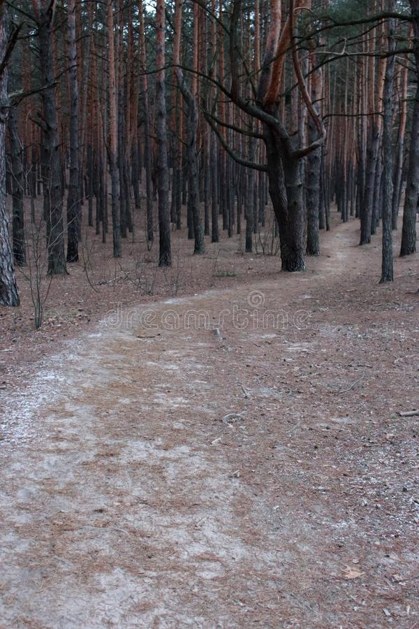 Road path in dense winter forest. Pine trees wood. Winter forest landscape. Path among frozen trees stock image