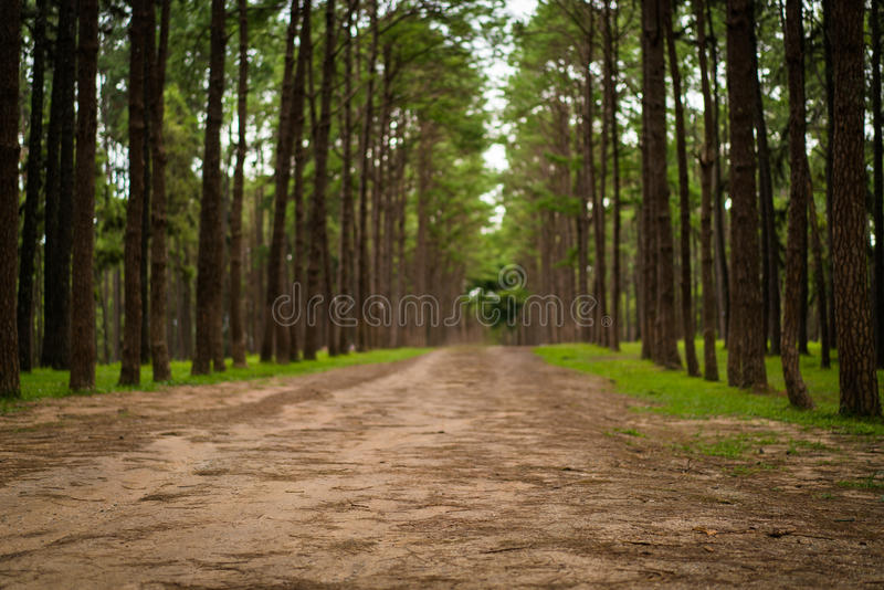 Road path in a pine tree forest. Front focus. Low depth of field stock photos