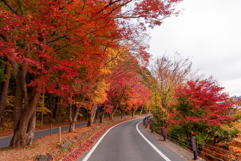 Road path with red fall foliage in autumn near Fujikawaguchiko stock images