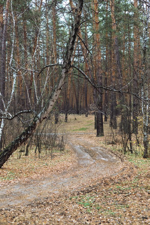 Road in the pine forest in autumn stock images