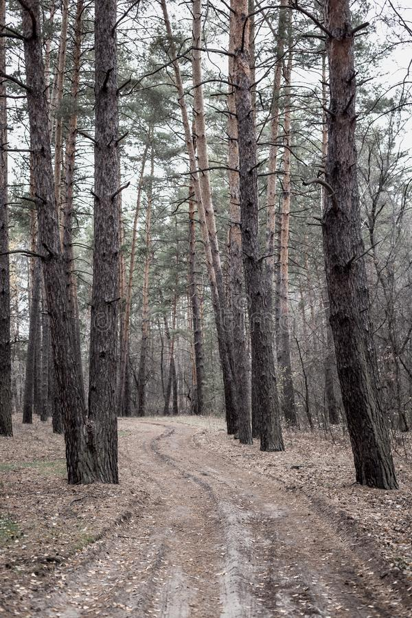 Road in the pine forest in autumn royalty free stock photography