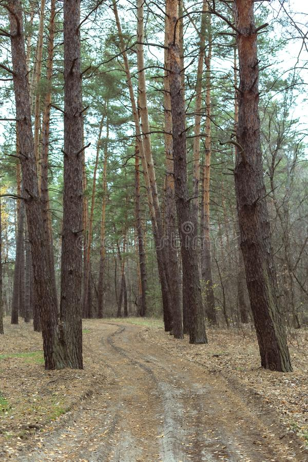 Road in the pine forest in autumn royalty free stock images